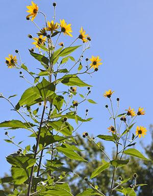 Jeruzalemska artičoka može i treba uzgajati u predgrađu
