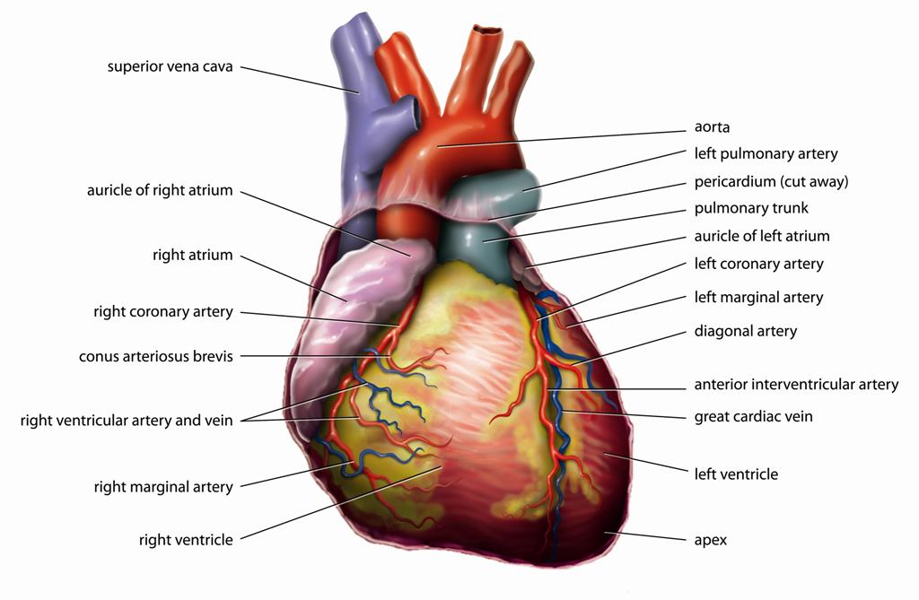 hipertenzija, lijevo srce ventrikula